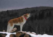 dog howling