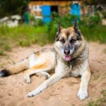 German Shepherd Husky Mix – A.K.A Gerberian Shepsky