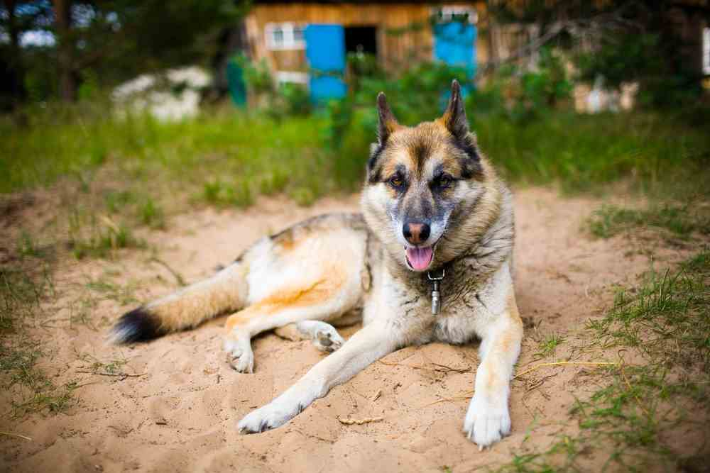 German Shepherd Husky Mix - A K A Gerberian Shepsky (ALL YOU