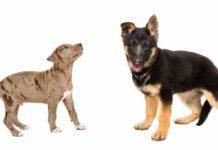 German Shepherd Pitbull Mix - (A.K.A The Shepherd Pit)