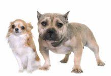 Pitbull Chihuahua Mix (A.K.A Chipit Or Pithuahua)