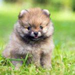 Teacup Pomeranian (A.K.A Miniature Pomeranian)