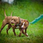 Best Dog Toys For Pit Bulls