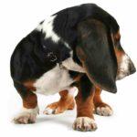 Beagle Basset Hound Mix (A.K.A Bagle Hound)