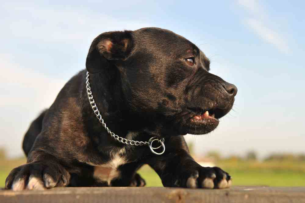 Black Pitbulls - The Information You Must Know - Ultimate