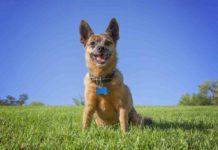 Chug Dog: The Chihuahua Pug Mix (A.K.A Pughuahua)