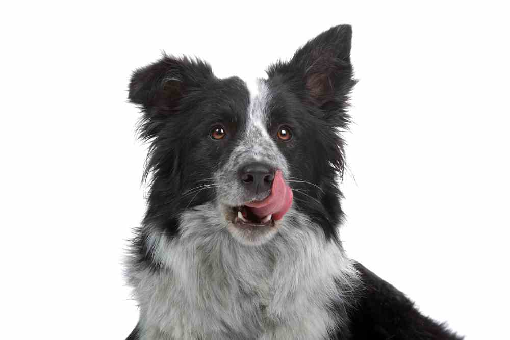 German Shepherd Border Collie Mix - (A.K.A Collie Shepherd Mix)