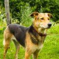 German Shepherd Golden Retriever Mix (A.K.A Golden Shepherd)