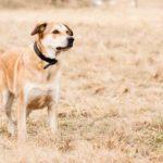 German Shepherd Lab Mix (A.K.A Sheprador) - All You Must Know