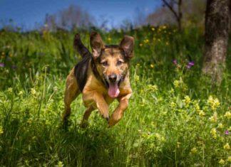 German Shepherd Rottweiler Mix (A.K.A Shepweiler)