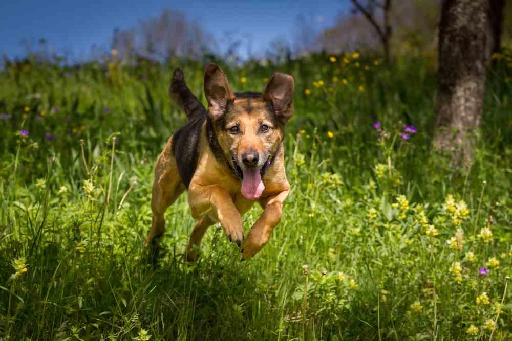 German Shepherd Rottweiler Mix Aka Shepweiler An Overview
