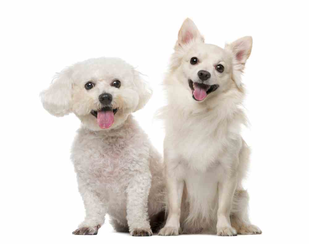 Maltese Chihuahua Mix (A.K.A Malchi) - Quick Overview ...