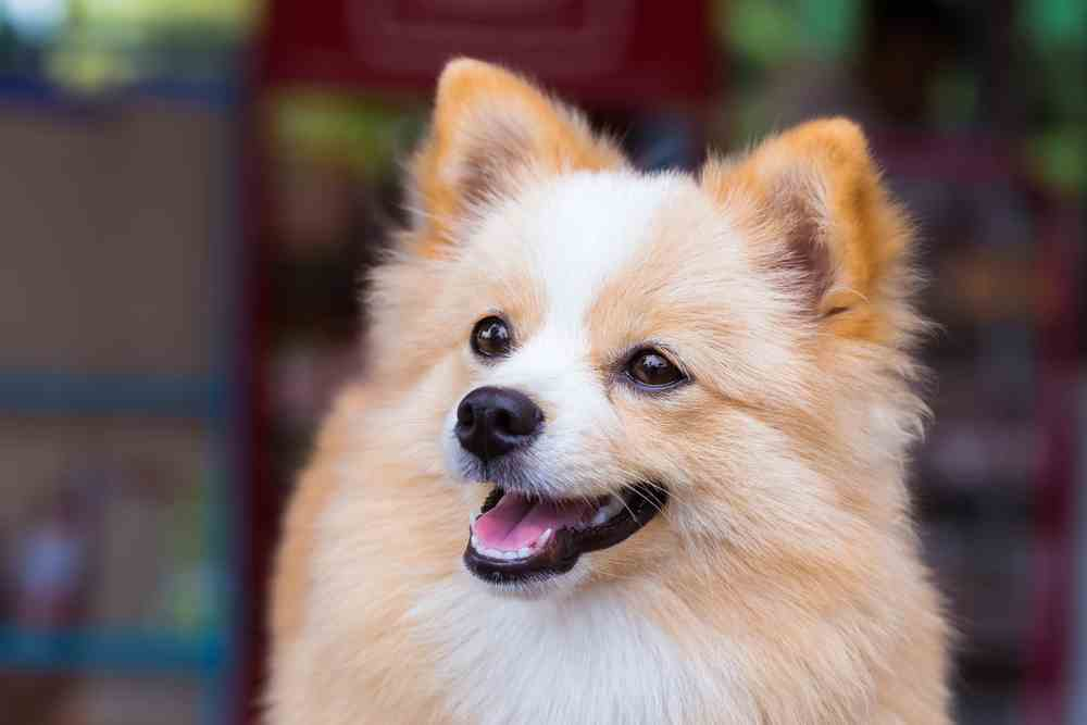 chihuahua pomeranian mix full grown pomchi pomeranian chihuahua mix an overview ultimate 9933