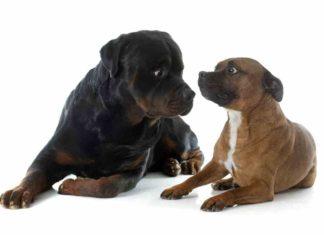Rottweiler Pitbull Mix (A.K.A Pitweiler)