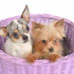 Yorkie Chihuahua Mix (A.K.A Chorkie)