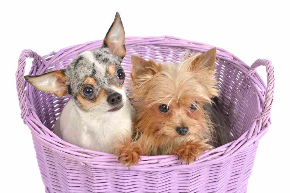 Yorkie Chihuahua Mix A K A Chorkie All You Must Know Ultimate