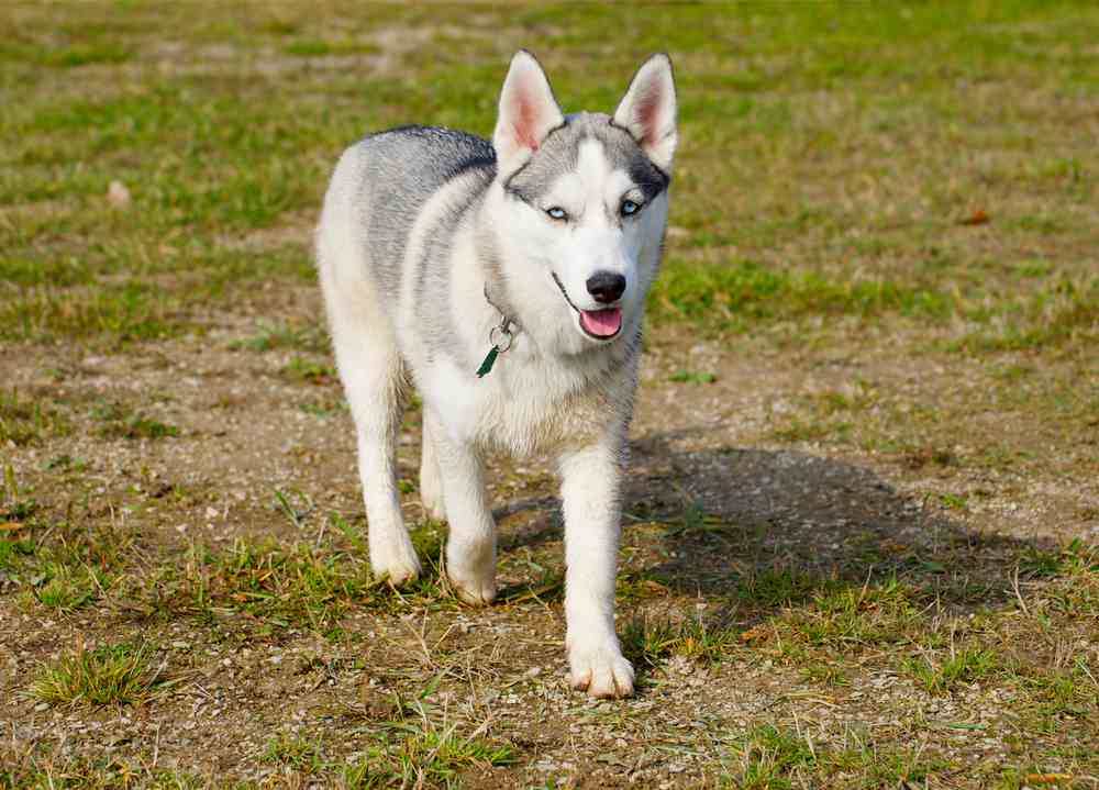 Miniature Husky A K Mini All You Need To Know Ultimate Home Life