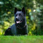 All Black German Shepherds (Black GSD)