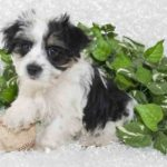 Morkie Dog Information - The Yorkshire Terrier & Maltese Mix
