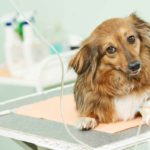 Cephalexin For Dogs (A.K.A Keflex)