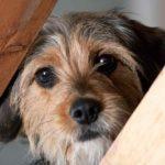 Xanax For Dogs (A.K.A Alprazolam)