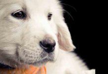 Miniature Labradors