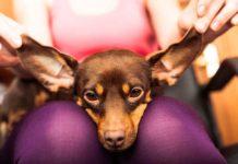 Shih Tzu Chihuahua Mix – (A.K.A Shichi Dog)