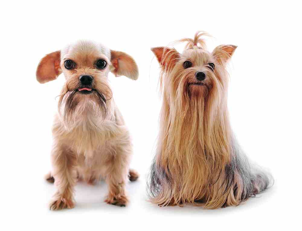 yorkshire terrier and shih tzu mix shih tzu yorkie mix a k a shorkie ultimate home life 2066