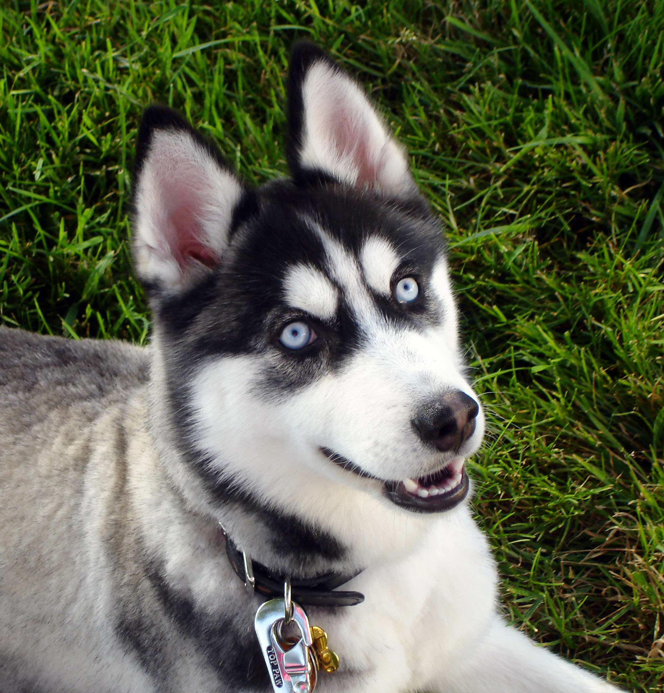 husky with blue eyes