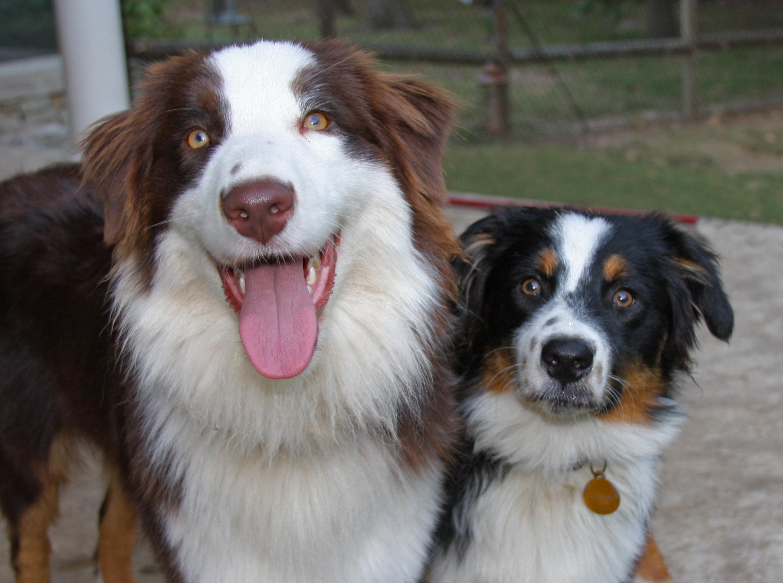 shepherd buddies