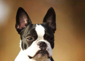 Boston Terrier French Bulldog Mix - (AKA Frenchton Dog)