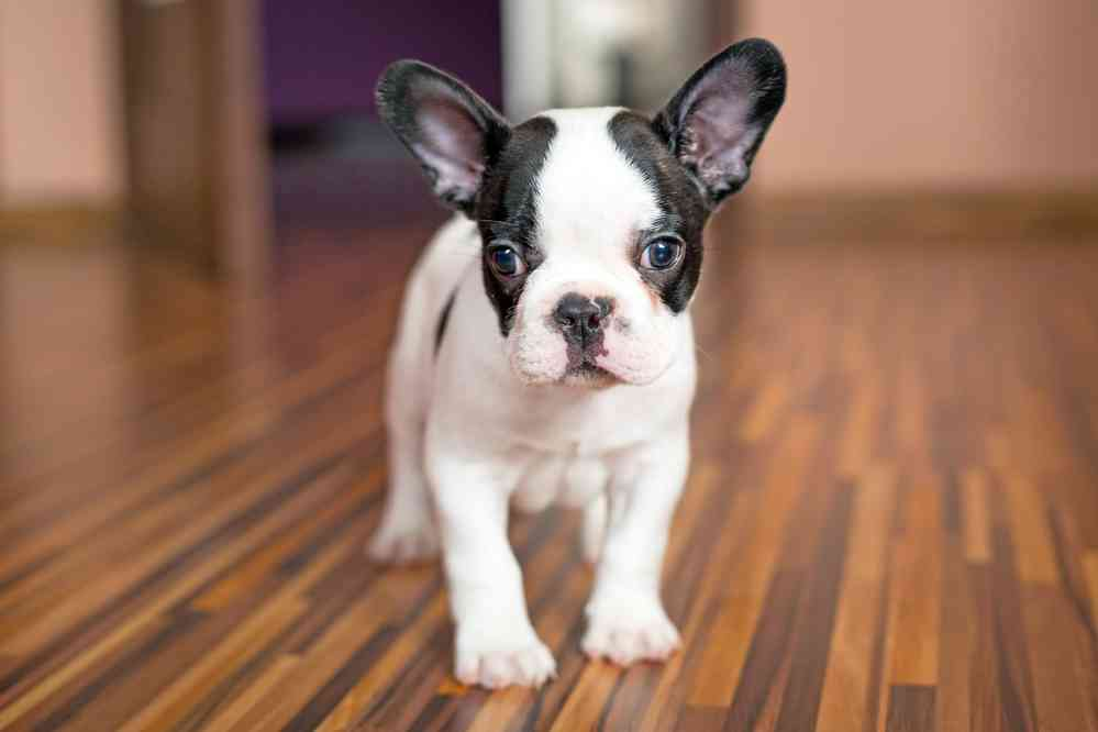 French Bulldog Price