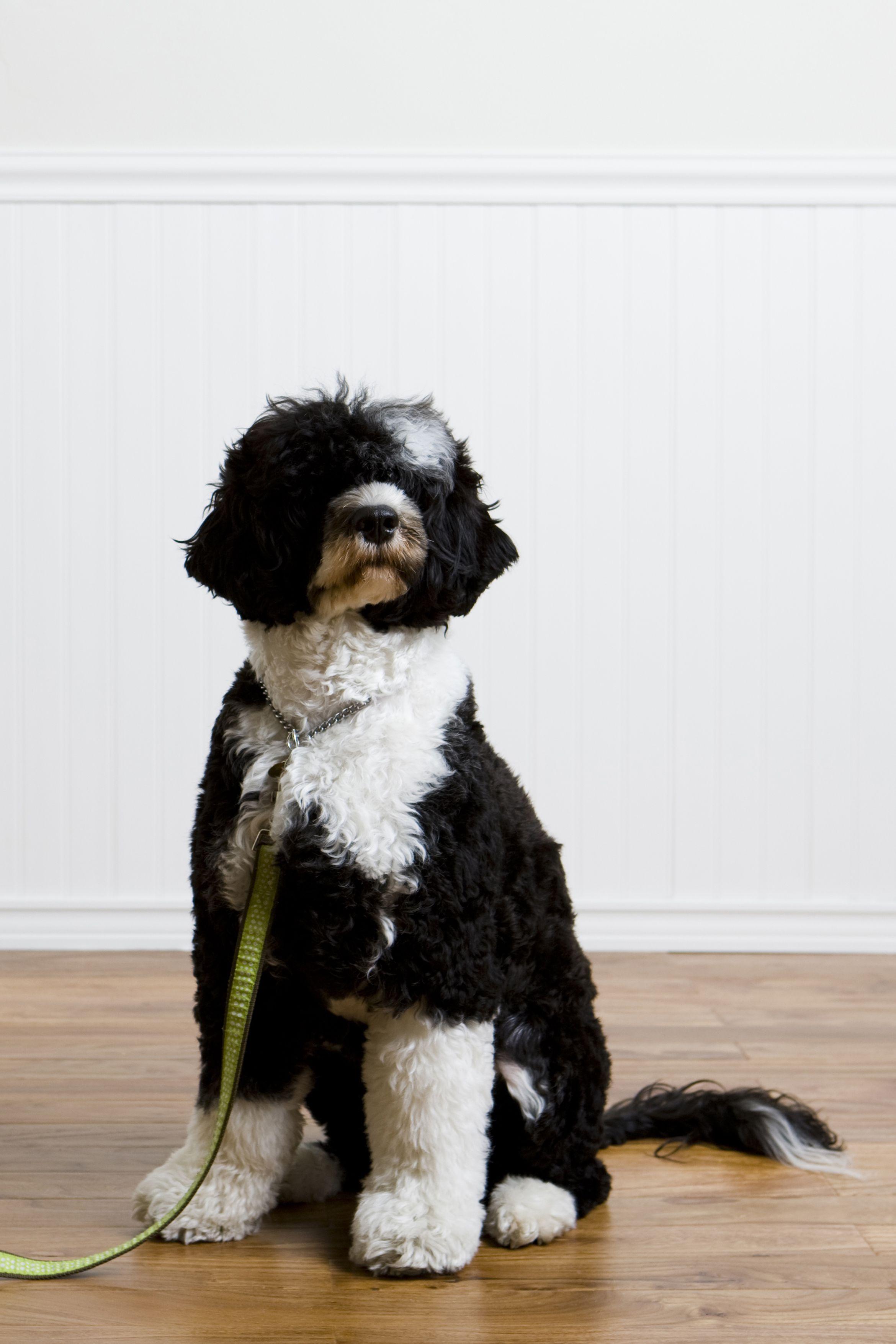 fluffy dog on leash