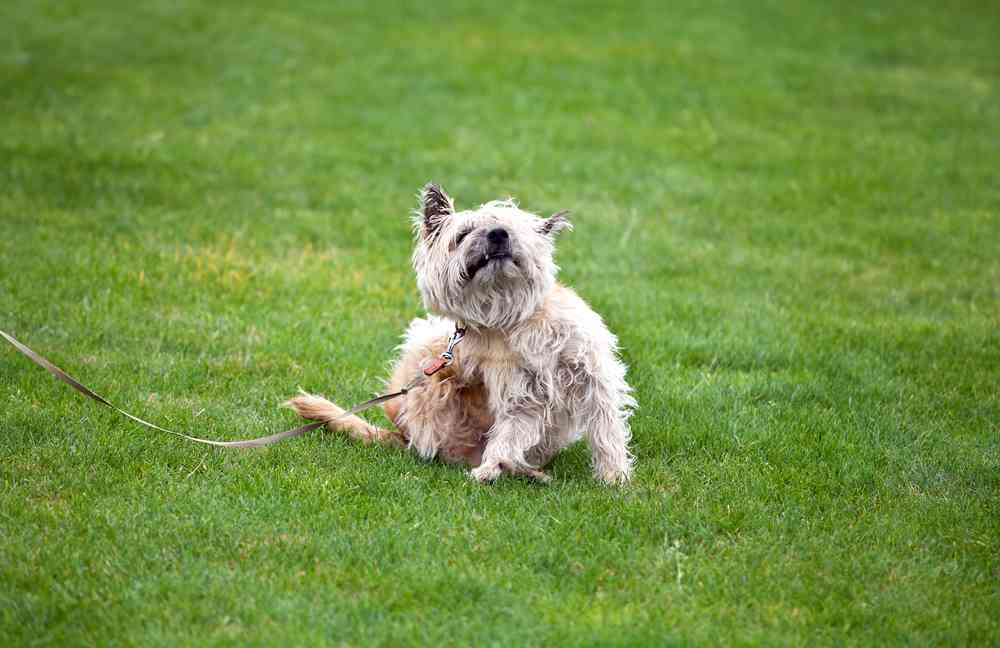 best flea pills for dogs