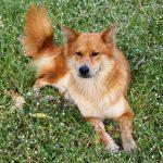 Golden-Chow-Dog