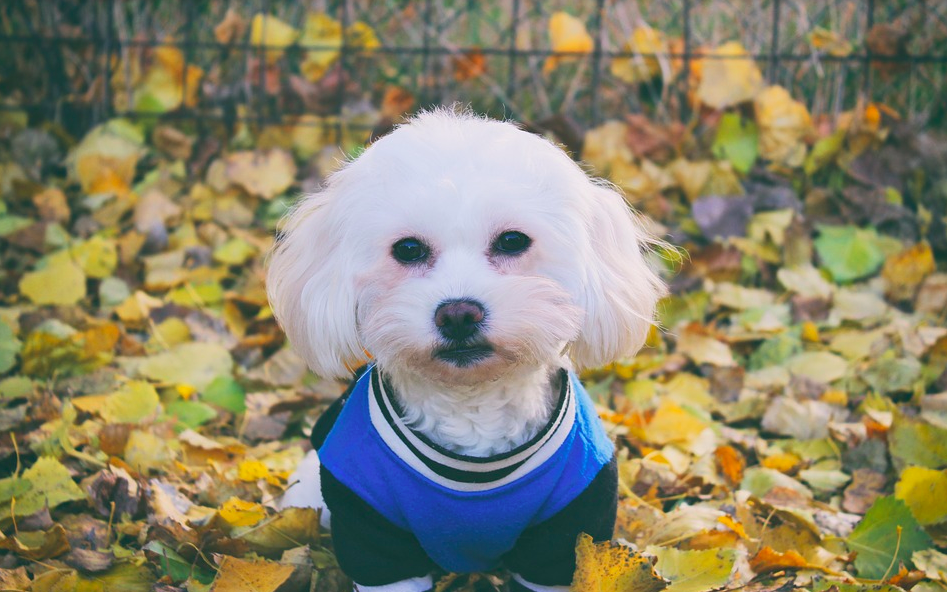 Maltese during fall