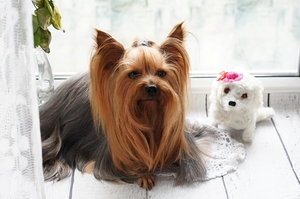 Are Yorkipoos Yappy?