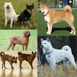 Collage of 5 Japanese Dog Breeds - Tosa Inu, Shibu Inu, Hokkaido Inu, Ryukyu Inu & Kishu Ken