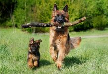 German Shepherd with stick in mouth trotting with pup